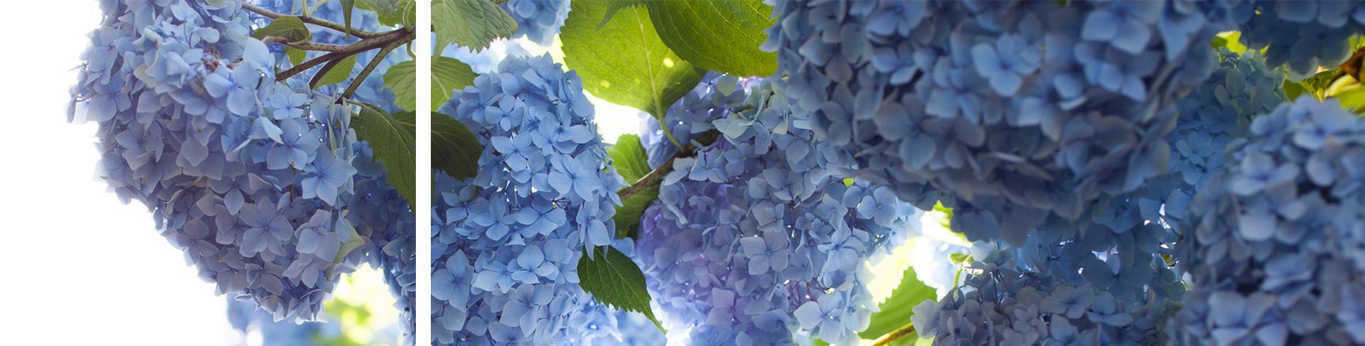 Blütenzeit im Rosengarten